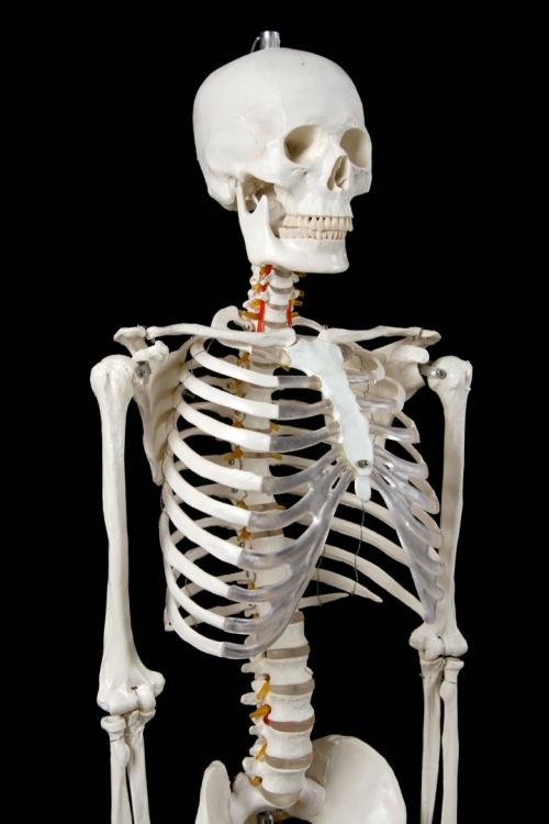 """Модель """"Скелета человека анатомический 170 см"""""""