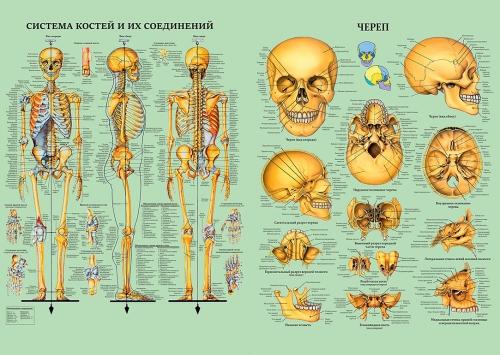 "Таблица ""Скелет человека и черепа"" (1 шт, формат А1, лам.)"