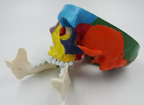 """Модель """"Череп с раскрашенными костями"""""""