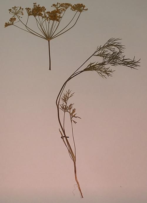 """Гербарий """"Культурные растения"""" (28 видов)"""