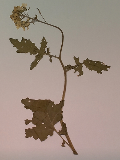 """Гербарий """"Сорные растения"""" (24 вида)"""