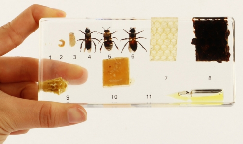 """Коллекция """"Развитие медоносной пчелы"""" (акрил)"""