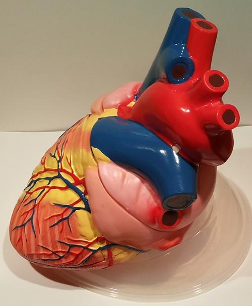 """Модель """"Сердце увеличенное"""""""