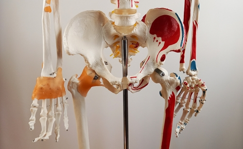 """Модель """"Скелета человека 170см"""" (Раскрашенный)"""