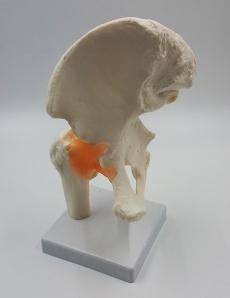 Набор моделей суставов, кисти и стопы человека (6 шт)