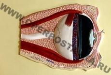 """Барельефная модель по анатомии """"Глаз. Строение"""""""