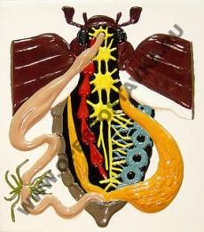 """Барельефная модель по зоологии """"Внутреннее строение жука"""""""