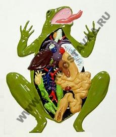 """Барельефная модель по зоологии """"Внутреннее строение лягушки"""""""