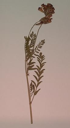 """Гербарий """"Медоносные растения"""" (24 видa)"""