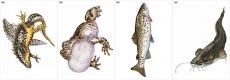 """Модель-аппликация """"Многообразие  хордовых. Рыбы, земноводные и пресмыкающиеся"""""""