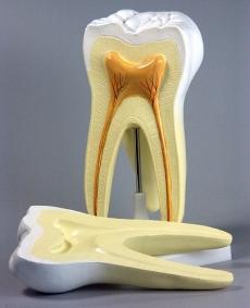 """Модель """"Строение зуба"""""""