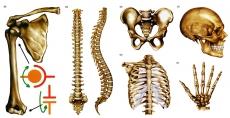 """Модель-аппликация """"Типы соединения костей"""""""
