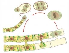 """Модель-аппликация """"Размножение многоклеточной водоросли"""""""