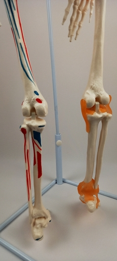 """Модель """"Скелета человека 85 см"""" (Гнущийся раскрашенн.)"""