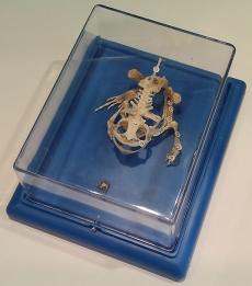 "Модель ""Скелет лягушки"""