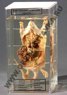 """Влажный препарат """"Внутреннее строение крысы"""""""